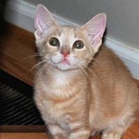 Domestic Shorthair Cat for adoption in Durham, North Carolina - Cinabun