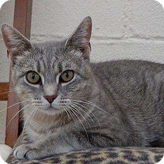Domestic Shorthair Cat for adoption in Long Beach, New York - Zora