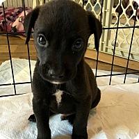 Adopt A Pet :: Chip-adoption pending - East Windsor, CT