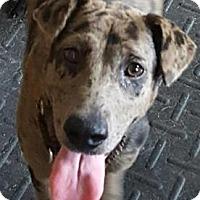 Catahoula Leopard Dog Mix Puppy for adoption in Loxahatchee, Florida - Gidget