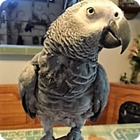 African Grey for adoption in Shawnee Mission, Kansas - Barney Bob