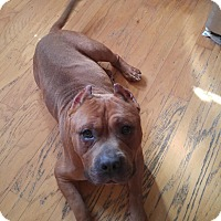 American Staffordshire Terrier Mix Dog for adoption in Durham, North Carolina - Little Romeo