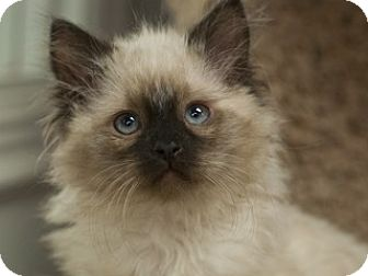 Siamese Kitten for adoption in Great Falls, Montana - Emerson