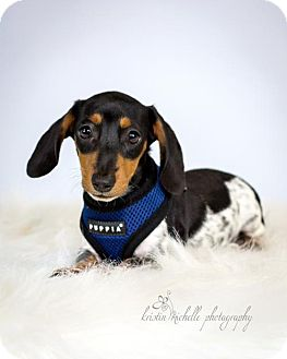 Dachshund Puppy for adoption in St. Louis Park, Minnesota - Tate