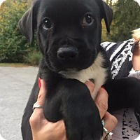Pit Bull Terrier/Labrador Retriever Mix Puppy for adoption in Staunton, Virginia - Winston Jr