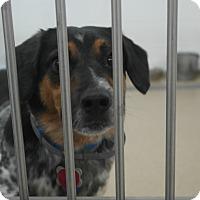 Adopt A Pet :: HERCULES - Indiana, PA