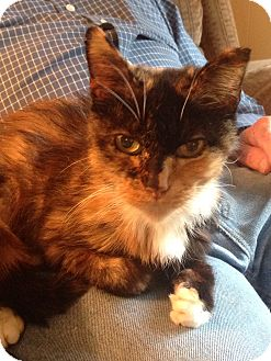 Domestic Shorthair Cat for adoption in Chattanooga, Tennessee - Casey
