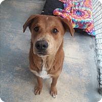 Adopt A Pet :: gilley - san antonio, TX