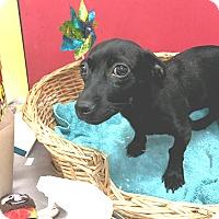 Adopt A Pet :: Pepper - Decatur, AL