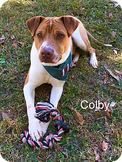 Shar Pei Mix Dog for adoption in Slidell, Louisiana - Colby