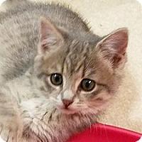 Adopt A Pet :: TJ Noodles - Fairfax, VA
