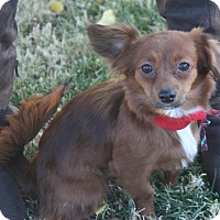Adopt A Pet :: Brownie - Henderson, NV
