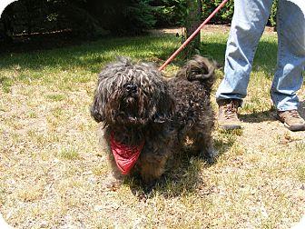 Shih Tzu Mix Dog for adoption in Toledo, Ohio - SMOKEY