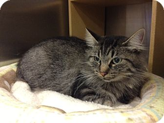 Domestic Mediumhair Cat for adoption in Byron Center, Michigan - Edie