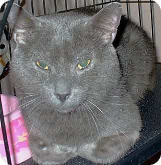 Pavel   Adopted Cat   Alpharetta, GA   Russian Blue