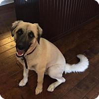 Adopt A Pet :: TEXAS, LITTLE ELM; 'SIMBA' - Little, Rock, AR