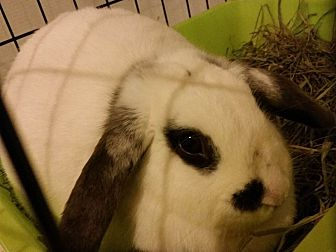 Mini Lop Mix for adoption in Moneta, Virginia - Maggie