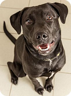 Labrador Retriever Mix Dog for adoption in New York, New York - Joe (Manhattan)