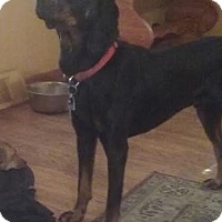 Black and Tan Coonhound/Bloodhound Mix Dog for adoption in Media, Pennsylvania - Bruno