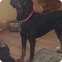 Adopt A Pet :: Bruno - Media, PA