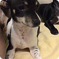 Adopt A Pet :: Sassy - Rancho Cucamonga, CA