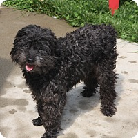 Poodle (Miniature) Mix Dog for adoption in Bristol, Connecticut - Marshall