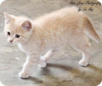 Domestic Mediumhair Kitten for adoption in Flora, Illinois - Puff