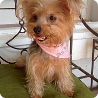 Adopt A Pet :: Lacey (BH) - Santa Ana, CA