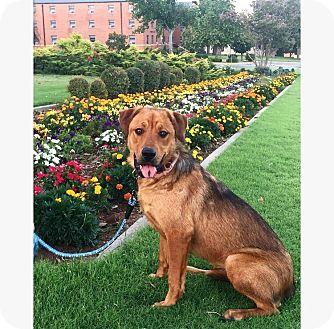 Shepherd (Unknown Type) Mix Dog for adoption in oklahoma city, Oklahoma - Drea