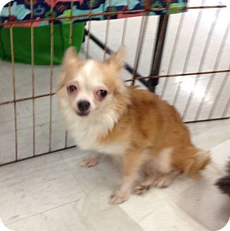 Chihuahua Mix Dog for adoption in Inverness, Florida - Cupcake