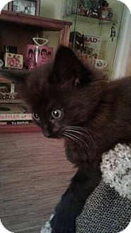 Domestic Mediumhair Kitten for adoption in Romeoville, Illinois - Belle