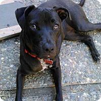 Adopt A Pet :: Stella - Concord, CA