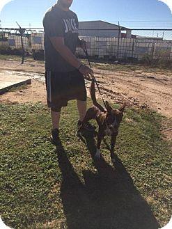Australian Kelpie Dog for adoption in Big Spring, Texas - Ava