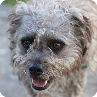 Cockapoo Mix Dog for adoption in Sudbury, Massachusetts - Taco