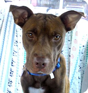 Pit Bull Terrier Mix Dog for adoption in Houston, Texas - Bones