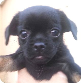 Pug/Dachshund Mix Puppy for adoption in Orlando, Florida - Lele#5F