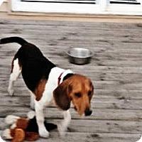 Adopt A Pet :: Dalton - Novi, MI