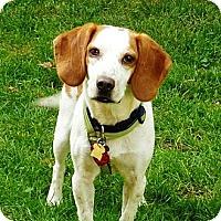 Adopt A Pet :: Anya - Novi, MI