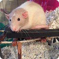 Adopt A Pet :: CREAMSICLE - Philadelphia, PA