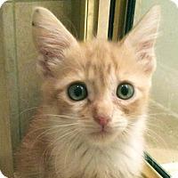 Adopt A Pet :: Perseus - Austin, TX