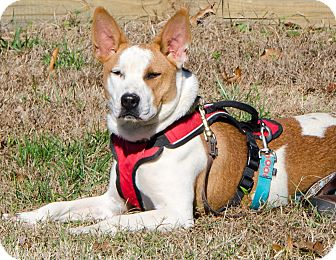 Basenji Mix Dog for adoption in Midlothian, Virginia - Juliet