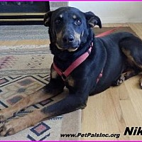 Doberman Pinscher/German Shepherd Dog Mix Dog for adoption in Hawk Springs, Wyoming - Nike
