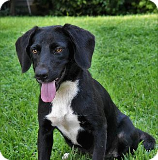Labrador Retriever Mix Dog for adoption in Kittery, Maine - Tillie
