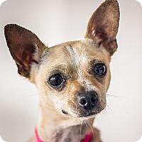 Adopt A Pet :: Amber - Berkeley, CA
