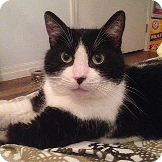 Domestic Shorthair Cat for adoption in Toronto, Ontario - Zorro