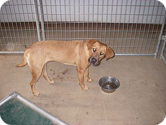 Hound (Unknown Type)/Chow Chow Mix Puppy for adoption in Buchanan Dam, Texas - Meg
