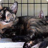 Domestic Shorthair Kitten for adoption in Island Park, New York - Jeannette