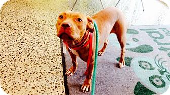 Staffordshire Bull Terrier/American Staffordshire Terrier Mix Dog for adoption in Pittsburgh, Pennsylvania - Luna