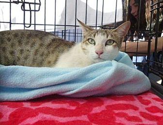 Domestic Shorthair Cat for adoption in Berkeley, California - Esha