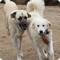 Anatolian Shepherd Puppy for adoption in Scottsdale, Arizona - Ike